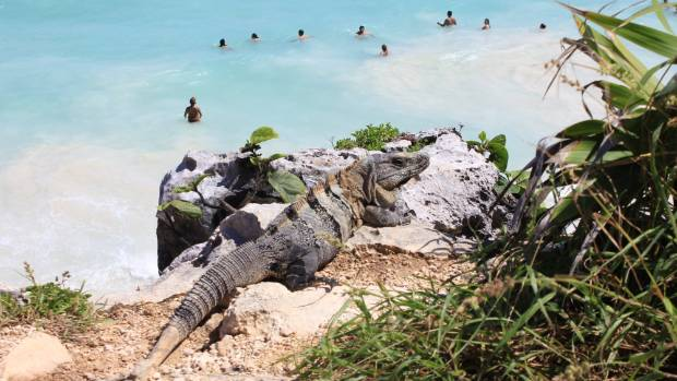 A Black Spiny Tailed Iguanaa in Tulum.