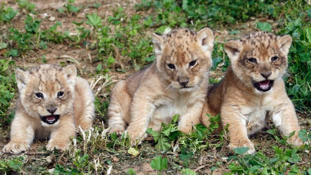 ADORABLE BABY LIONS: It's kind of like they took a kitten and crossed it with a savage animal too naive to realise it ...