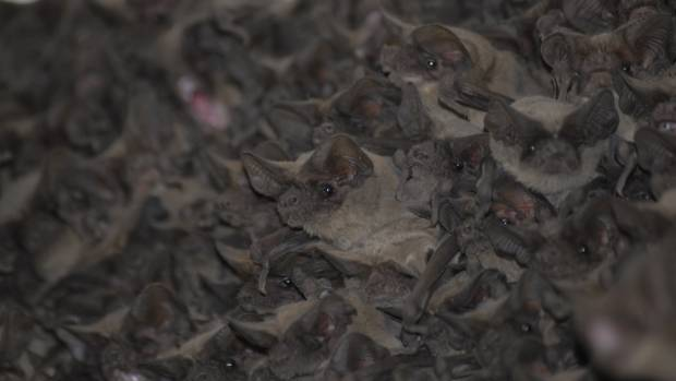 CHATTERING CLASSES: Brazilian free-tailed bats.