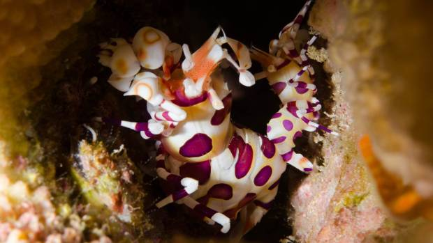 A harlequin shrimp hides in a crevice off the coast of the Big Island of Hawaii.