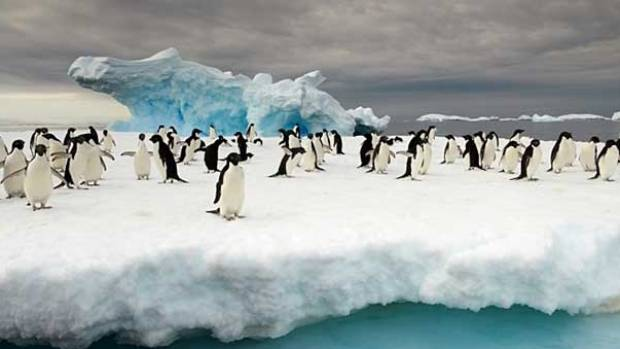 RARE TREAT: Being surrounded by penguins in Antarctica makes the challenges of sea travel worthwhile. (Pictured are ...