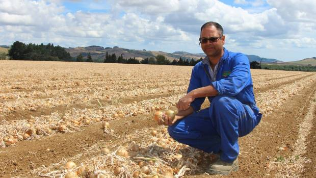 PARTICULARLY DRY: Pukekohe Vegetable Growers Association president Bharat Jivan examines some of his onions.