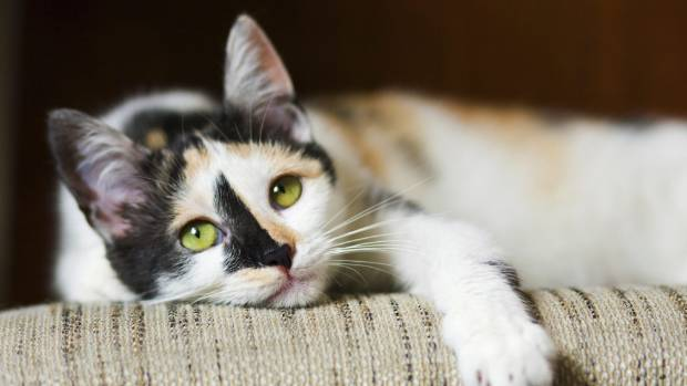 Researchers have found calico cats are more aggressive than other cats.