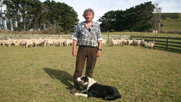 Cape Saunders sheep and beef farmer David McKay brings a mob of sheep into the yards on a calm, sunny autumn day on Otago Peninsula.