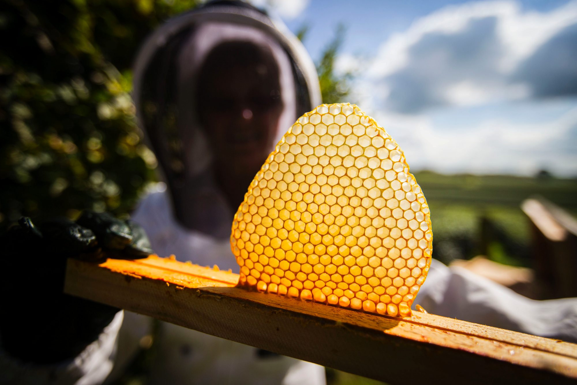 New bee-keeper Jenny O'Donnell holds out an under-construction honeycomb.