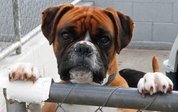 Animals have feelings, too. Just look at this boxer at the Nelson SPCA.