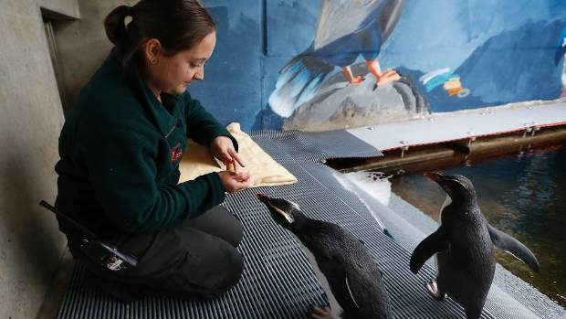 Wellington Zoo vet nurse Sarah van Herpt works at rehabilitating two Fiordland crested penguins, known as Henry and Gary.