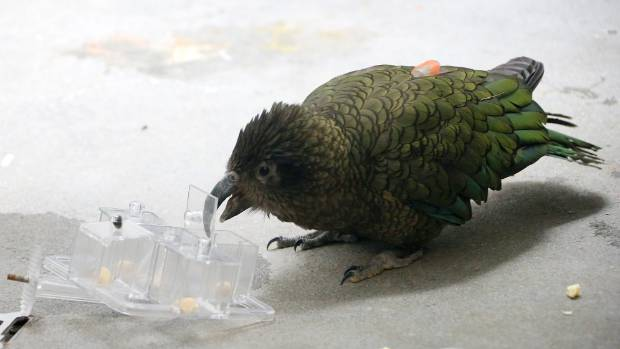 The kea is treated to a macadamia nut after working out how to open one of the four differently-opening lids, keeping his bird brain sharp.