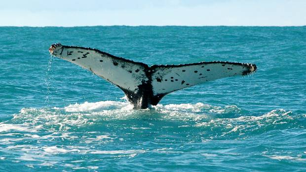 Record number of humpback whales in Cook Strait