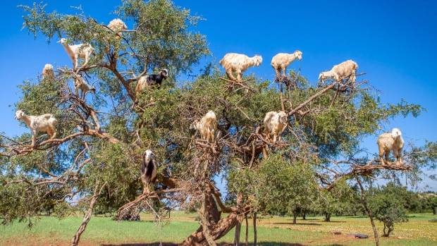 In Morocco, goats climb up argan trees in order to eat their fruit. The site is not uncommon to locals, but travellers are often shocked to see the bizarre phenomenon.