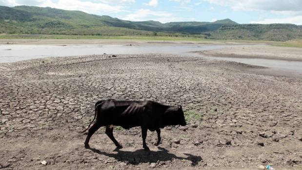 A cow walks on drought affected land at the Las Canoas dam near San Francisco.
