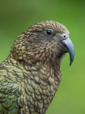 A Conservation Department investigation into alleged shootings of kea in Golden Downs near Nelson has turned up nothing.