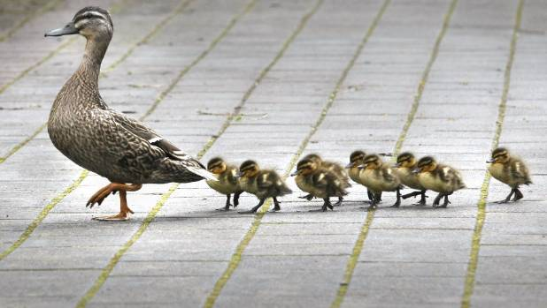 A video of a duck and its ducklings getting a police escort to cross a busy intersection in Christchurch has been a social media hit.