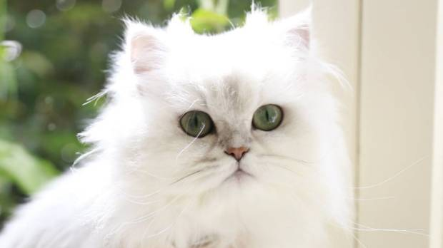 Chloe, a full grown chinchilla persian cat was spotted on the social posts made by Catilin Davidson.