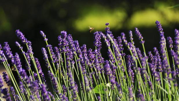 Lavender oil stimulates circulation in the scalp and strengthens new hair growth.