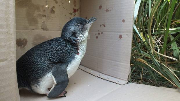It's suspected this little blue penguin was attacked by a dog.