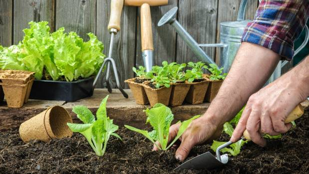 Labour Weekend is the perfect time to plant out a new vege garden with an emphasis on lettuce, tomatoes and other salad greens.