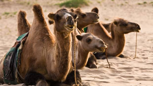 Saddled camels rest in the sand of the Gobi Desert, Mongolia.