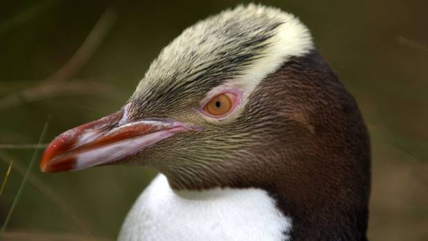 A yellow-eyed penguin on Enderby Island.