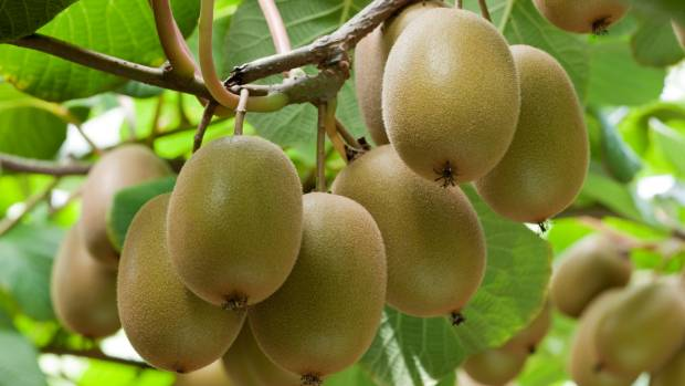 Kiwifruit grow quickly to cover an arch, pergola or verandah.