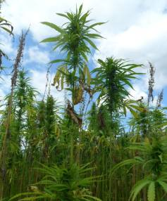 Hemp crops can yield up to 15 times more biomass than grain per hectare.