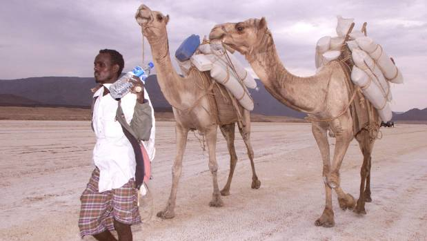 A Djibouti nomad leads camels loaded with salt for sale.