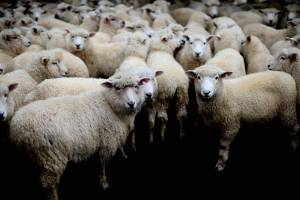 Global conditions have lowered prices farmers are receiving for sheep meat.
