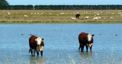 Cattle grazing on the shore of Lake Ellesmere, as seen from the Little River Rail Trail.