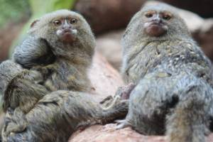 See how pygmy marmoset couple Wicket and Cuzco will be spending Valentine's Day at Wellington Zoo.