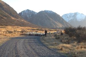 The demise of sheep farms in South Canterbury reflects both national, and world wide trends.