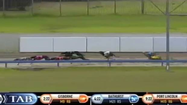 Jay Low tumbles in race 10 at the Auckland greyhounds meeting last Sunday.