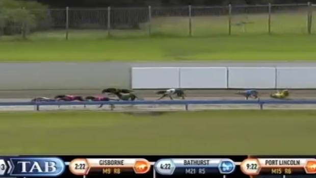 Jay Low tumbles in race 10 at the Auckland greyhounds meeting last Sunday at Manukau. Subic Bay won the race and Jay Low ...