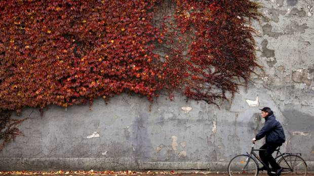 A cyclist rides past autumn-coloured ivy climbing the wall of a building in downtown Copenhagen, Denmark.