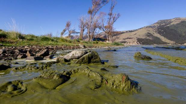 Lake Forsyth on Banks Peninsula has had toxic algae blooms since January and is in worse health than it has been in ...