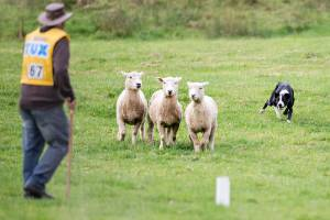 Laurie Horsfall, of Te Aute, and heading dog Raid go through their paces in the North Island Sheep Dog Trial ...