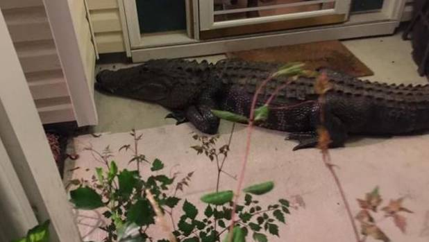 Huge alligator makes late night visit to SC woman's front door