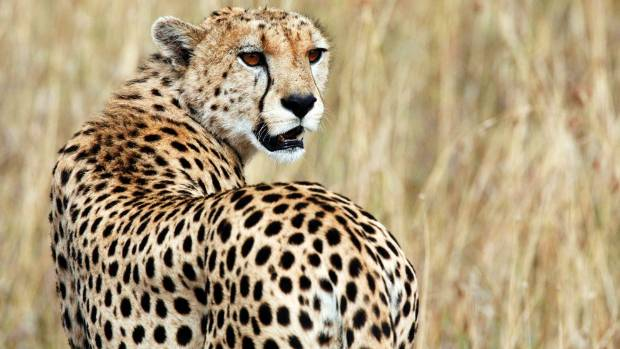 Cheetahs are increasingly having to look over their shoulders in case a lion or leopard might steal their hard-earned catch.