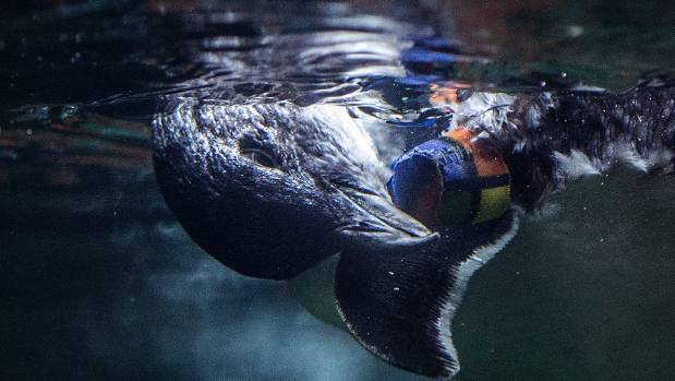 'Bagpipes' the penguin scratches his amputee stump while having a swim
