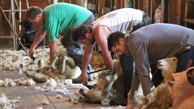 Hard at work in the Mokairau shearing shed, from left, fencer general Daniel Knubley, Jon Reeves and Nick Land.