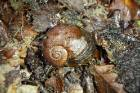The critically endangered Rhytida oconnori snail is found at only two sites in New Zealand, both in the top of the South ...