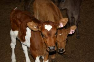 Bobby calves selected for breeding programmes provide farmers with an opportunity to make money.