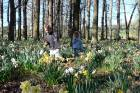 Spring daffodils in the Cheviot Domain will be a major attraction for the Cheviot Spring Festival on September 10.