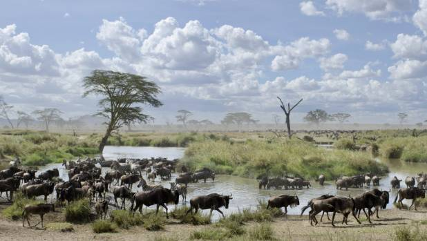 Herd of wildebeest and zebras in Serengeti National Park.