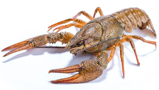 $210 lobster bought from fish market, set free is found dead