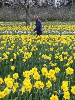Clandon Daffodils' Ian Riddell is doing 15 hour days during peak season.