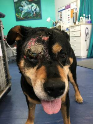 Blue the dog suffered nasty facial injuries after being attacked by two pitbulls