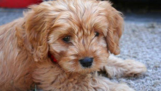 VetCompass in Britain has found that crossbred dogs, like this cavoodle, live longer on average than purebred dogs.