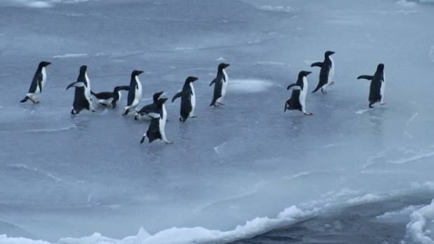 Adelie penguins on a newly formed ice floe in the northern Ross Sea in 2007-2008.