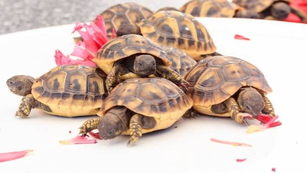 Baby Tortoises Feast Together On A Hibiscus Flower Cepec Centre