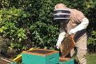 Beekeeping on Kapiti island may not be a new venture but now people can buy the honey made on the bird sanctuary.